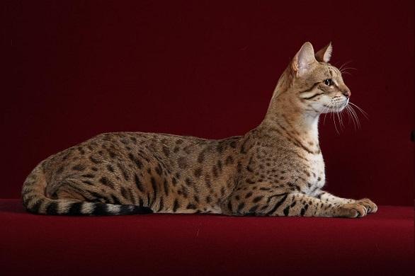 Cat of the savanna
