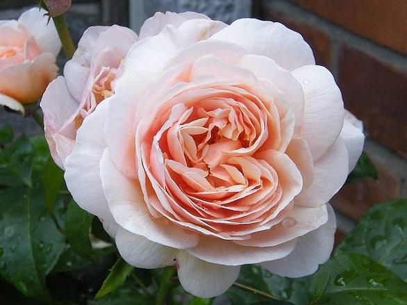 Juliet Rose
