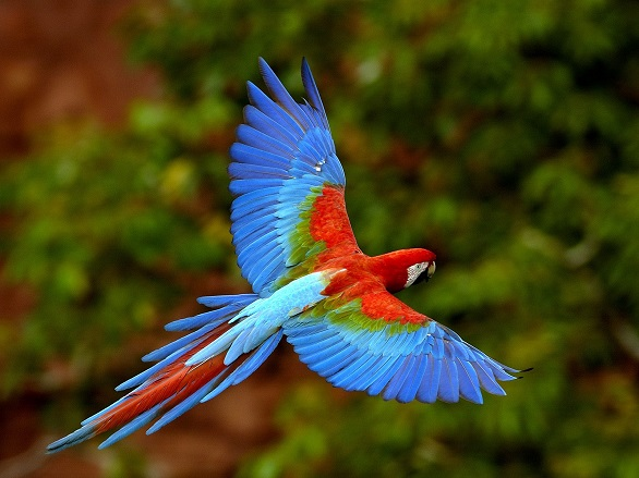 Parrot Hyacinth, Macaw