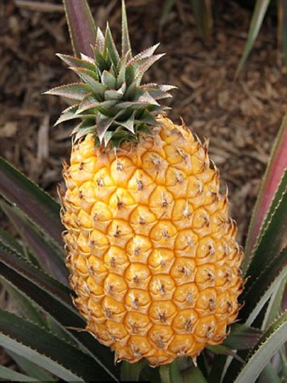 Rare exotic pineapple