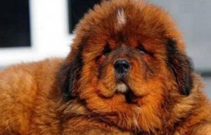 Overpriced puppy was sold for 1.44 million