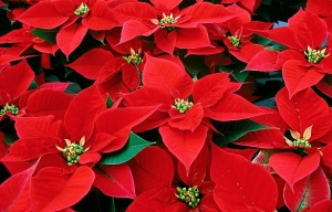 The reason why Christmas is decorated with Ponsettia flowers