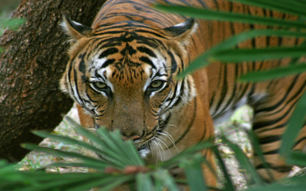 Find Tigers in India