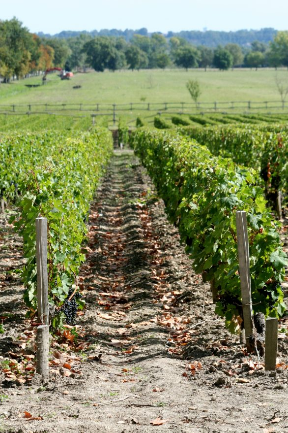 vineyards_of_chateau_margaux